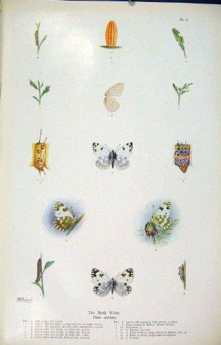 impresion-antigua-de-la-larva-blanca-del-huevo-del-gusano-del-insecto-de-la-mariposa-del-bano-vieja-