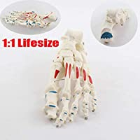 Zaoyun 1:1 Life Size Foot Bone Model Medical Anatomical Skeleton Teaching Model