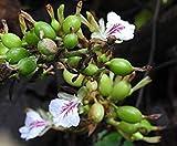 GEOPONICS 10 semillas de cardamomo