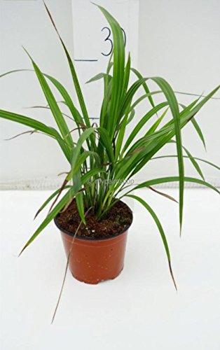 Phoenix roebelenii, Palme, Zwergdattelpalme, Gesamthöhe: 25-35cm Topf: Ø 14cm - multistamm
