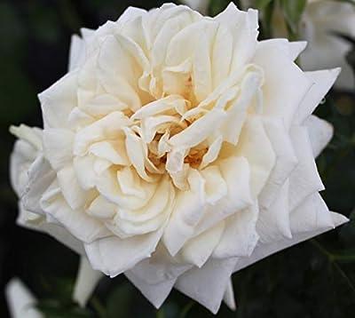 Rose Ilse Krohn Superior (im grossen Container) - Kräftig entwickelte Pflanze im 6lt-Topf von Lubera AG auf Du und dein Garten