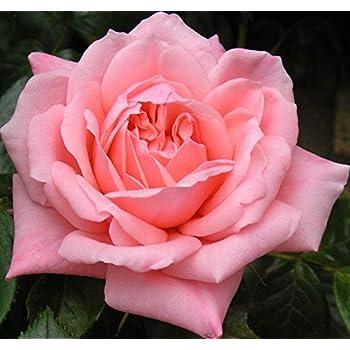 Ginger Honey 4lt Potted Floribunda Garden Rose Bush Coral Pink//Orange Blend Scalloped Petals Repeat Flowering