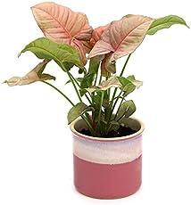Exotic Green Syngonium Pink Indoor Plant Barbie Pink Pot
