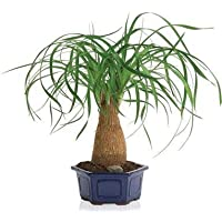 Nolina (Beaucarnea) recurvata - 10 semi