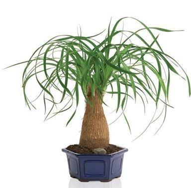Beaucarnea (Nolina) recurvata (Elephant's Foot, Ponytail Palm) Palmier - 10 Graines