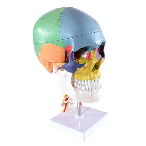 Zoom IMG-1 s24 2301 cranio modello didattico