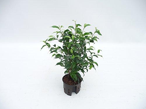 Birknfeige, Ficus benjamina Natascha, ca.35 - 40 cm, beliebte Zimmerpflanze in Hydrokultur, 11/9er Kulturtopf