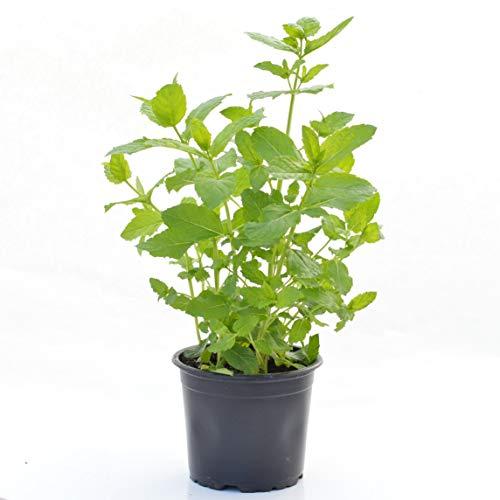 2 Marokkanische Minze-Pflanzen - Minze-Pflanze im großen Topf/Gewürzpflanzen/Küchenpflanzen/Gartenpflanzen/Küchenkräuter (Marokko-minze-grüner Tee)