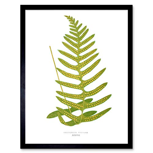 Wee Blue Coo LTD Fern Polypodium Vulgare Art Print Framed Poster Wall Decor Kunstdruck Poster Wand-Dekor-12X16 Zoll