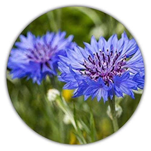 Kornblumen Samen - Ca. 50 Samen - Centaurea cyanus - Blaue bis Violette Blüten - Als Balkon- & Kübelpflanze