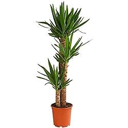 Dehner Yucca-Palme, dreitriebig, ca. 130-140 cm, Ø Topf 24 cm, Zimmerpalme