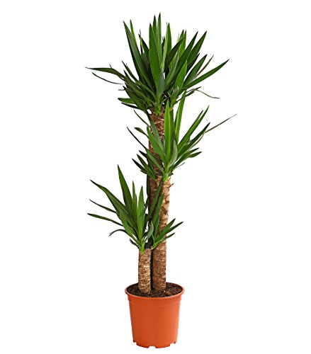 Dehner Yucca-Palme, dreitriebig, ca. 130-140 cm, ca. 24 cm Topf, Zimmerpalme