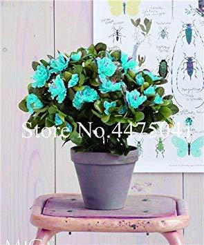 Seltene Farbe Japanische Azalee Bonsai, Rhododendron Azalee, Azaleen-Blumen-Bonsai-Baum Sämling DIY Pflanze Hausgarten Easy Grow 100 PC: 6