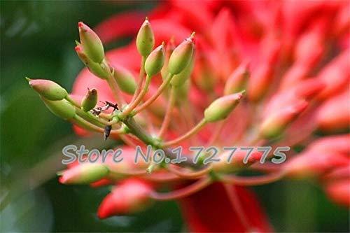 Green Seeds Co. Véritable bonsaï! 50 pcs/lot Erythrina Crista Galli, arbustes brésiliens plantes belle fleur bonsaï plante bricolage maison jardin shippi gratuit: violet