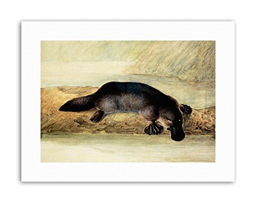 Wee Blue Coo LTD Platypus River Bank Duck Billed New Painting Canvas Art Prints -