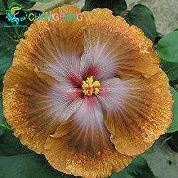 Shopmeeko Im Angebot!!!200pcs Hibiskuspflanzen 24 Arten HIBISCUS ROSA-SINENSIS Blumenpflanzen Hibiskuspflanzen für Blumentopfpflanzen: Hellgelb