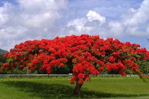 Comprar arbol flamboyan en amazon