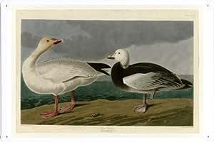 Oil Painting of John James Audubon Bird - Snow Goose de Enseignes affiche en metal 20*29cm by Wposter