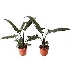 BOTANICLY   2 × Zimmerpflanze – Pfeilblatt   Höhe: 45 cm   Alocasia Lauterbachiana