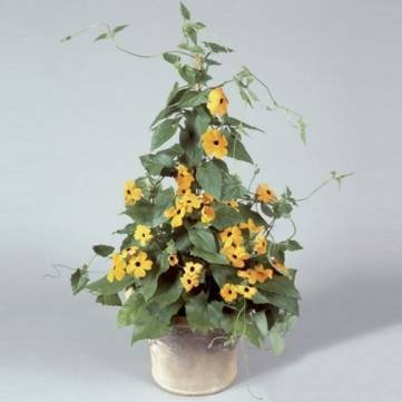 10PCS Schwarzes gemusterte Susan Vine Thunbergia Alata Seeds