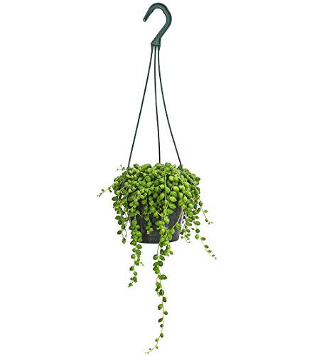 Dehner Erbsenpflanze Perlenschnur, hängender Wuchs, ca. 30-35 cm, Ø Topf 14 cm, Zimmerpflanze