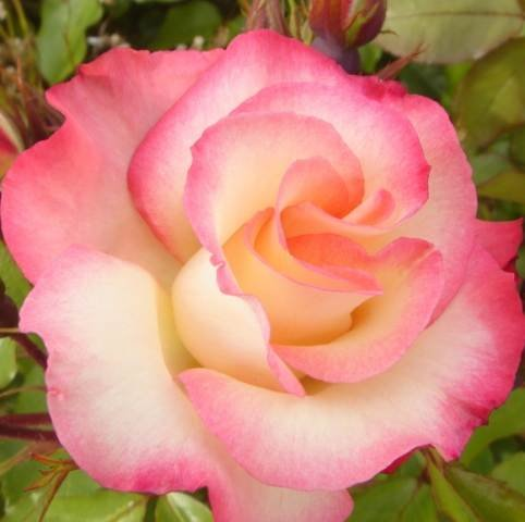 Birthday Girl - Floribunda rose - radice nuda rosa - ideale come regalo di compleanno