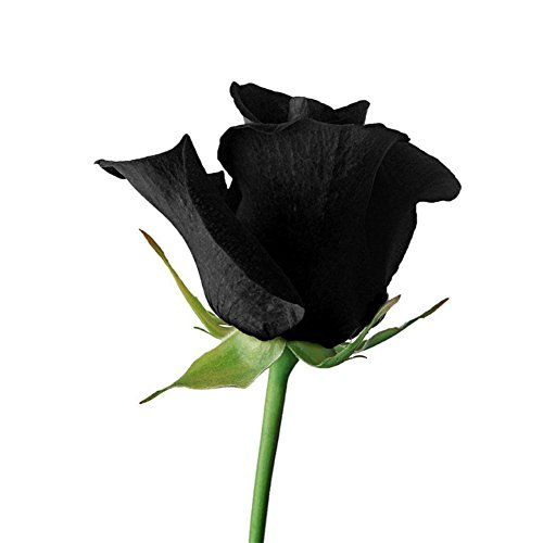 Loveble 100Pcs Mystérieux Graines de Rose Noires Décor de Jardin Expérience de Plantation