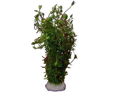 Aquariumpflanzen Bacopa myriophylloides von aquariumpflanzen.net bei Du und dein Garten