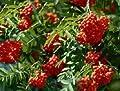 Eberesche / Vogelbeere - Sorbus aucuparia 50-80 cm, von Gartengruen24 - Du und dein Garten