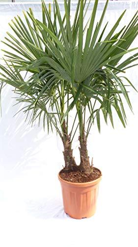 2-stämmig Trachycarpus Fortunei Palme mehrstämmig, winterhart 120cm
