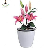 prime vista Bonsai 100seeds / Pack Specials Lily Lily Bonted Bonsai Plant Lily Flower para el Jardã­n de su casa: Deep Blue