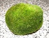 3 Mooskugeln mini 2-3 cm, Cladophora