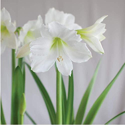 Amaryllis Denver (Ampoule) Hippeastrum sera Bloom pour Noël