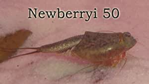 Triops King Lot de 50 œufs de triops newberryi