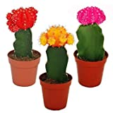 LIVE GREEN Moon Cactus Negativity Puller Indoor Plants