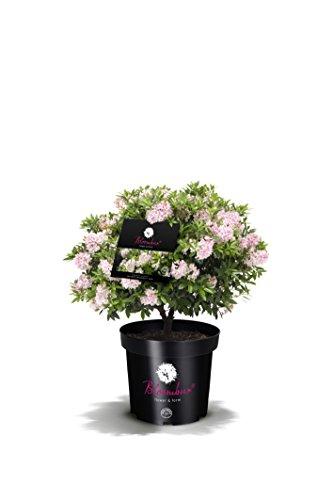 !!WELTNEUHEIT!! Bloombux – flower & form by INKARHO 25-30 cm breit im 2 Liter Pflanzcontainer