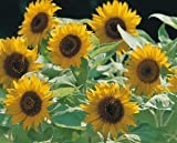 "Just Seed Mini-Sonnenblume ""Big Smile"", exzellent, Blumen, 10 Samen"