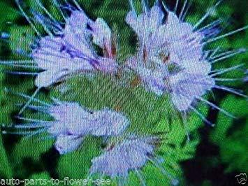PLAT FIRM 400 Samen der LACY Phacelia Lila/Violett Farbe (Lacy Phacelia Samen)