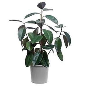 Vivai Le Georgiche Ficus Robusta