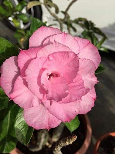 "Shoopy Star Mixed: Bride Bouquet Ã""thiopien National Flower 2 Stück Calla Samen Bouquets Blumen"