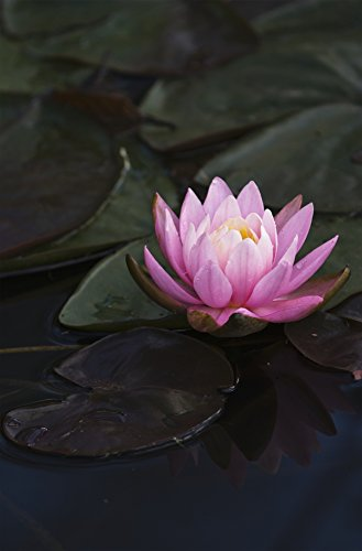 robert-l-potts-design-pics-a-water-lily-blooms-in-a-pond-astoria-oregon-united-states-of-america-pho