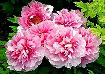 10pcs / sac de graines de pivoine, jaune, graines de fleurs de pivoine rose chinoise belles graines de bonsaï plantes en pot pour le jardin de la maison 11
