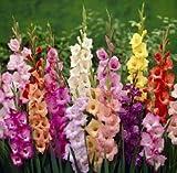 100bulbi per gladioli, colori misti, grande fioritura, per bordi patio, giardino giapponese, pianta perenne