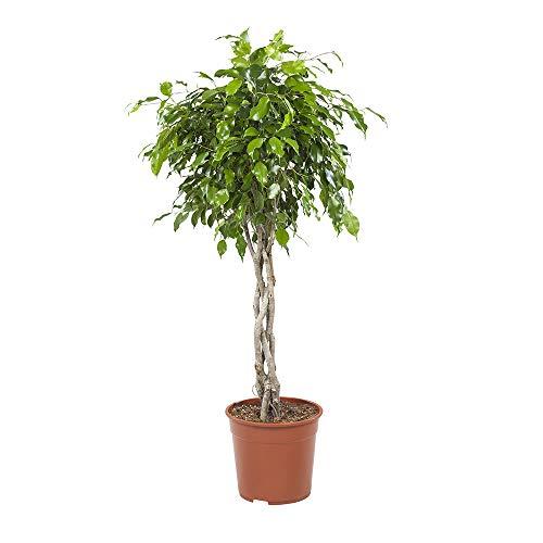BOTANICLY | Plantas naturales - higo llorón | Altura:
