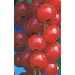 Rote Johannisbeere - Ribes rubrum - Augustus - großfrüchtig, robust