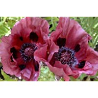 35+ Semillas/Paquete Plum Pudding Papaver Rosa y Negro Amapola Orientale Flower Seeds/Perennial