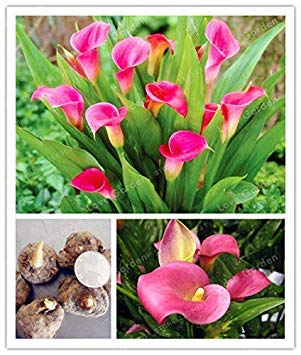 Potseed Keimfutter: Rot: Calla Blumenzwiebeln Elegante edle Wahre rosa Lilien Symbolisiert Wurzeln Rhizome Seeds