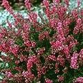 Heidekraut, rot blühende Besenheide - 10 Stk. in je 0,5lt. Topf, Höhe 10-15 cm von Lubera Park bei Du und dein Garten