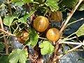 Stachelbeere 'Hinnonmäki Gelb' - Ribes uva-crispa 'Hinnonmäki Gelb' von Baumschule - Du und dein Garten