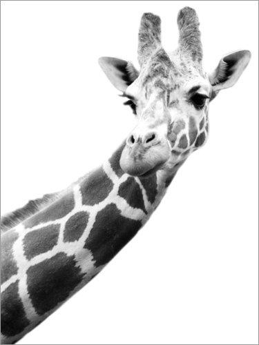 Poster 60 x 80 cm: Giraffe in schwarz-Weiss von Darren Greenwood/Design Pics - hochwertiger Kunstdruck, neues Kunstposter